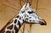 stock photo of terrestrial animal  - Portrait Of Giraffe The Tallest Terrestrial Animal - JPG