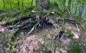 Oak Tree Roots