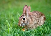 Sylvilagus de bunny comer zanahoria