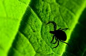 picture of ixodes  - Castor bean tick on the leaf - JPG