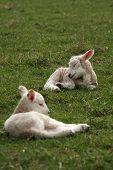 Sleeping Lambs Lying In Field