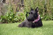 stock photo of scottie dog  - My female Scottish terrier resting in the sun - JPG