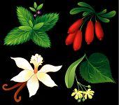 Set Of Aromatic Plants