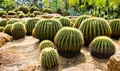 foto of pain-tree  - Giant cactus in Nong Nooch Tropical Botanical Garden Pattaya Thailand - JPG