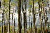 Beechen Trees