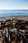 Seaweed kelp is on the seashore. Russia. Japan sea.