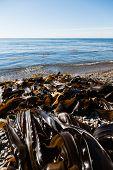 Seaweed kelp is on the seashore. Russia. Japan sea.