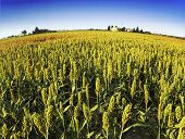 picture of sorghum  - sorghum field - JPG