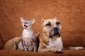 foto of american staffordshire terrier  - Cornish rex cat  - JPG