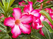 stock photo of desert-rose  - Adenium obesum Desert Rose Impala Lily Mock Azalea - JPG