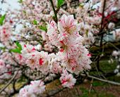 Sakura Spring Blossom.