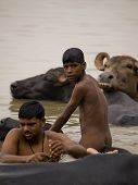 Varanasi, India - November 10, 2010: An Unidentified Local Boy Is Washing His Water Buffalo In The H
