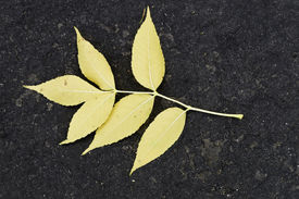 picture of six-petaled  - A fallen yellow leaf with six petals on a blacktop surface.