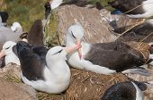 foto of albatross  - Courtship display of adult black browed albatross - JPG