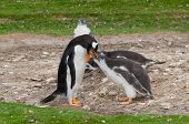 Adult Gentoo Penguin With Chick