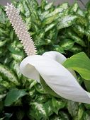 Peace lily with bent petal
