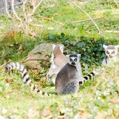 Ring-tailed Lemurs(lemur Catta) Sitting In The Sun