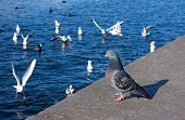 Pigeon on river shore
