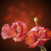 stock photo of windflowers  - Card with poppies flowers on dark background - JPG