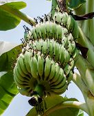 stock photo of bunch bananas  - Close up shot of a Banana tree with a bunch of bananas - JPG