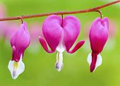 Soft selective focus of  individual flowers of bleeding heart [Dicentra spectabilis] in the spring g