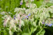 stock photo of borage  - Borage flowers  - JPG