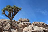 image of monocots  - Horizontal landscape with Joshua tree - JPG