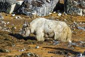 stock photo of yaks  - Long haired yak in Himalayas Everest region Nepal - JPG