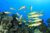 Shoal of Fish: Yellowsaddle Goatfish