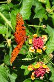 Oleta Orange Butterfly