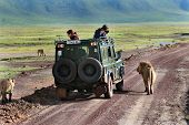 Tourists Photograph Wild Lions, Looking Out Of The Hatch Jeep.