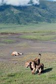 Wild Lions In The Ngorongoro National Park, Tanzania.