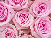 Group Of Pink Roses Crouded