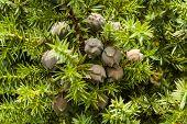 Juniperus Drupacea (syrian Juniper)