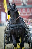 Black friesian horse carriage driving