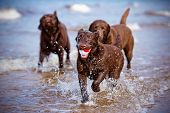 foto of chocolate lab  - brown labrador retriever dog on the beach