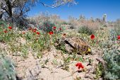 Central Asian Tortoise Among Poppies
