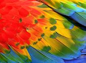 Close Up Of Red, Yellow And Blue Macaw Parrot Bird Feathers