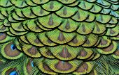 Colorful Of Peacock Feathers In Luminous For Design And Texture Works