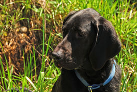 stock photo of bloodhound  - Bloodhound Black Lab cross 1 year old against a grass hill - JPG