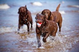 foto of labrador  - brown labrador retriever dog on the beach  - JPG
