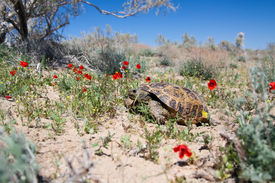 foto of russian tortoise  - Central Asian tortoise (Agrionemys horsfieldii) in desert area the Southern Kazakhstan ** Note: Shallow depth of field - JPG