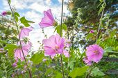 Pink Hollyhock Flowerrs