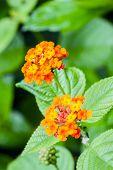 stock photo of lantana  - Closeup of blossom yellow orange and red lantana camara flower - JPG