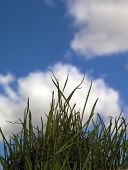 Wheatgrass Against The Sky