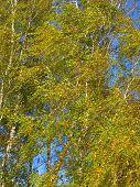 Yellow Autumn Birch Trees On Wind