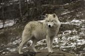 picture of wolf-dog  - Arctic Wolf in winter in a forest - JPG