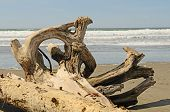 pic of driftwood  - Interesting root wad driftwood on the beach near Bandon Oregon - JPG