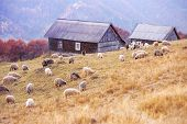 sheep on autumn meadow in mountain