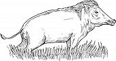 image of razorback  - hand sketch illustration of a wild boar or pig done in black and white - JPG
